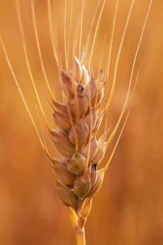 Wheat Ear Single Macro