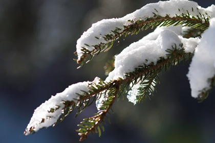 Fir Tree Branch With Snow Close Up