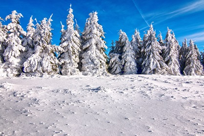Snow Covered Fir Trees Winter Landscape