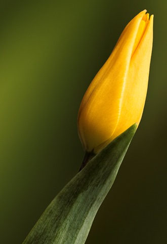 Yellow Tulip Macro Close Up