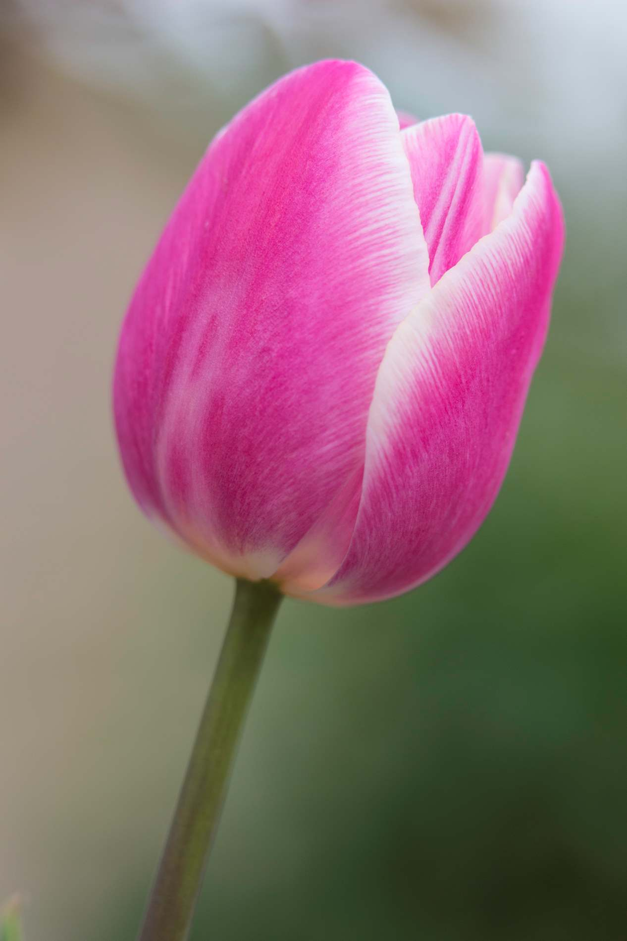 Single pink tulip flower close up photohdx single pink tulip flower close up mightylinksfo